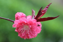 雨中盛开的桃花花朵