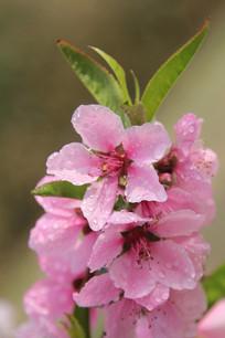 雨中绽放的桃花花串