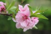 雨中绽放的桃花花朵