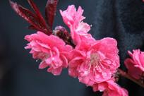绽放的红色桃花花枝