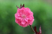 绽放的露水桃花花朵