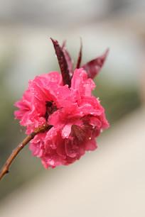 绽放的桃花花枝