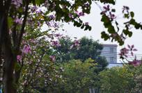 紫荆花树木风景图片