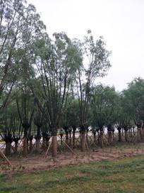 大柳树摄影