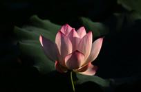 含苞的荷花花卉图片
