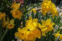 黄色的水仙