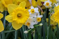 黄色水仙花