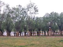 柳树群摄影