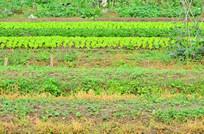 田野里的蔬菜风景