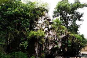 岩石上的大树