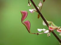 宽卵叶长柄山蚂蝗红色的果实