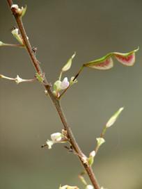 宽卵叶长柄山蚂蝗花朵和荚果
