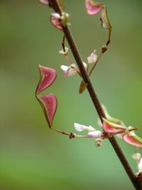 宽卵叶长柄山蚂蝗荚果特写