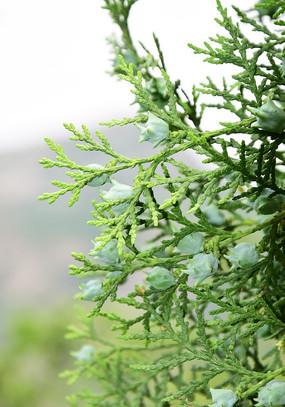 柏树枝叶和种子