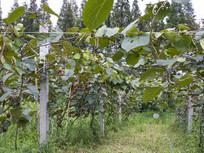 猕猴桃采摘园