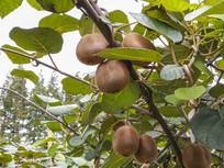 猕猴桃挂满枝头