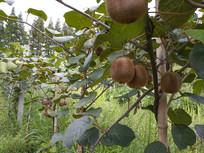 猕猴桃果园