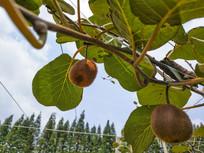猕猴桃种植园