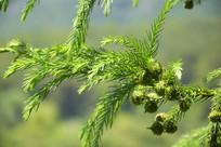 柳杉树的枝叶图片