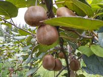 满树猕猴桃
