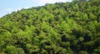 茂密的竹林风景