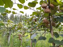 农庄猕猴桃