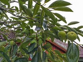 青柿子挂满枝头