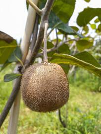 树上猕猴桃
