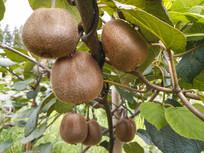枝头猕猴桃