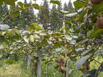 庄园猕猴桃