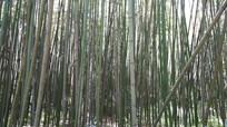 茂密的竹林风景图