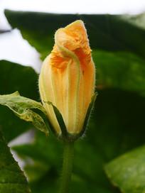 盛开的南瓜花