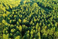 松林风景 (航拍)