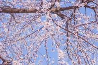 大连樱花美景
