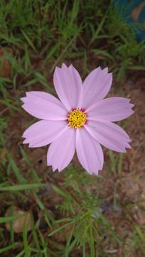 淡紫色格桑花