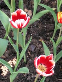 红白色郁金香