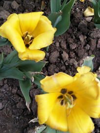 黄色郁金香花朵