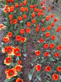 美丽的红花郁金香