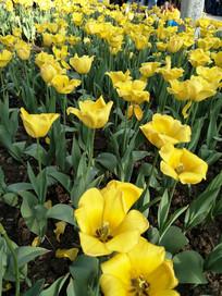 鲜艳的黄色郁金香