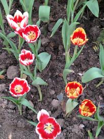 鲜艳的郁金香花朵