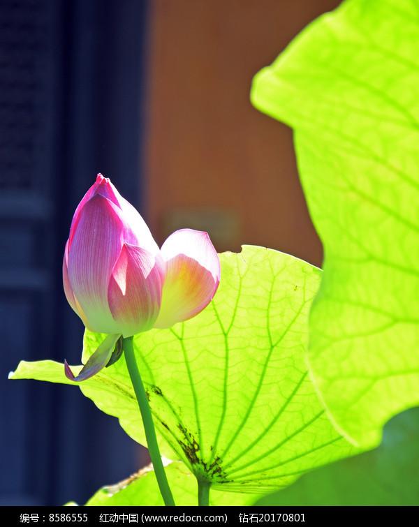 阳光里的荷花花蕾图片