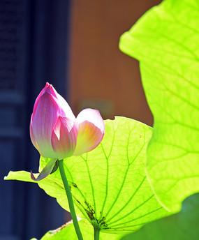 阳光里的荷花花蕾