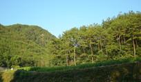 远山和松树林风景图