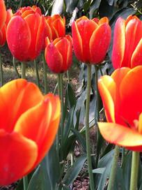 郁金香花朵近拍