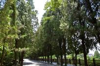 整齐高大的行道树