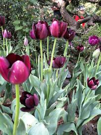 紫黑色郁金香