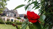 大红色的月季花