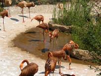 泥塘周围整理羽毛的火烈鸟