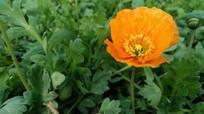 漂亮的橙色野罂粟花