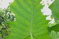 虫蛀的芋头叶